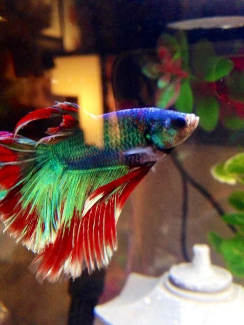 Cute pet betta fish betta fish for Cute betta fish