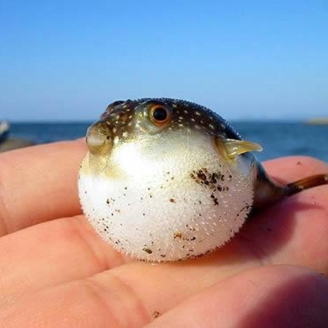 Baby puffer fish so cute beautiful animals pinterest for Puffer fish puffing