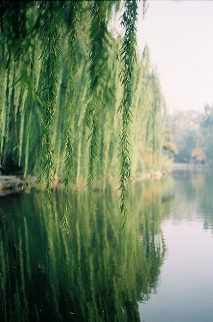 Nature, weeping willow tree