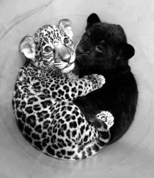 A baby leopard and a baby jaguar =) awww