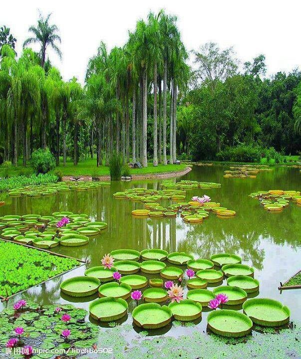 Lily pads beautiful gardens and flowers pinterest for Flower garden ponds