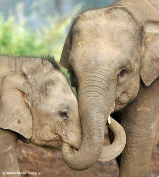 Image result for elephant mothers and calves