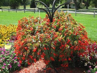 Begonia 'Santa Cruz Sunset' | Gardens Wish List: 2013 | Pinterest
