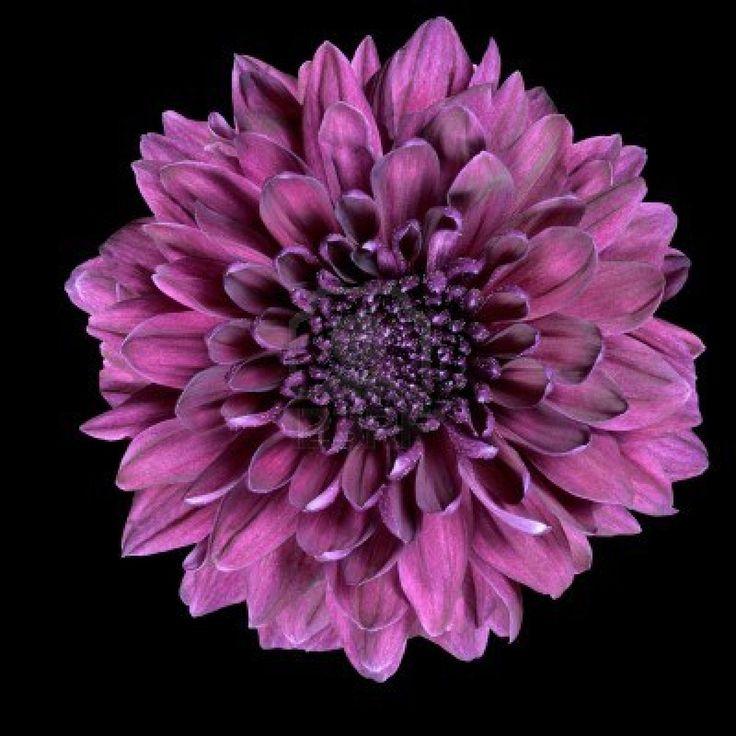 Dark purple chrysanthemum