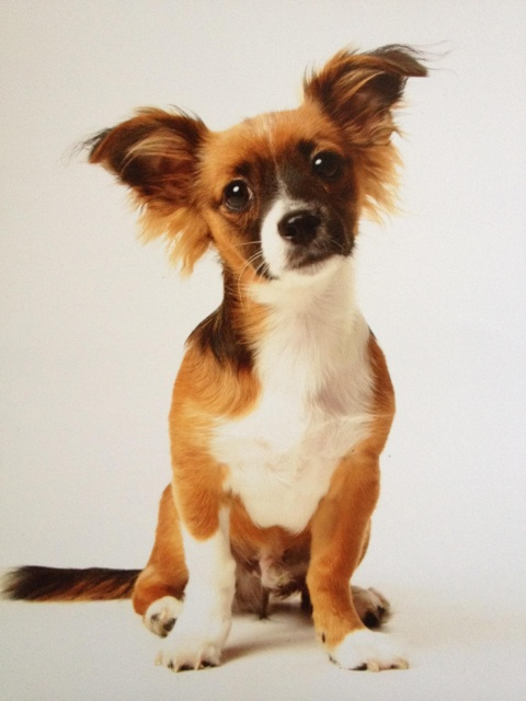 Long haired chiweenie! | Pets | Pinterest