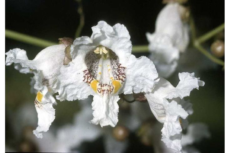 Picture of the Catalpa