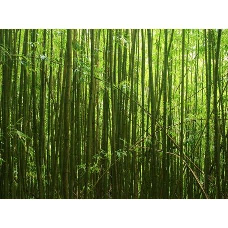 Bamboo forest 1 wall mural for Bamboo forest mural
