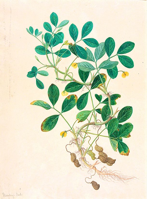 Botanical illustration scientific