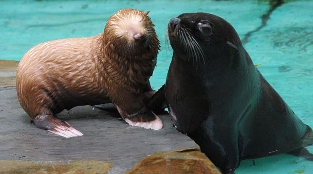 The adorable little redhead, complete with pink nose and flippers, has not yet been named so visitors to Dortmund Zoo are being asked to vote for one. Mother Harimee gave birth on May 26, but keepers decided to keep the pair away from the public and other seals so the they could bond.