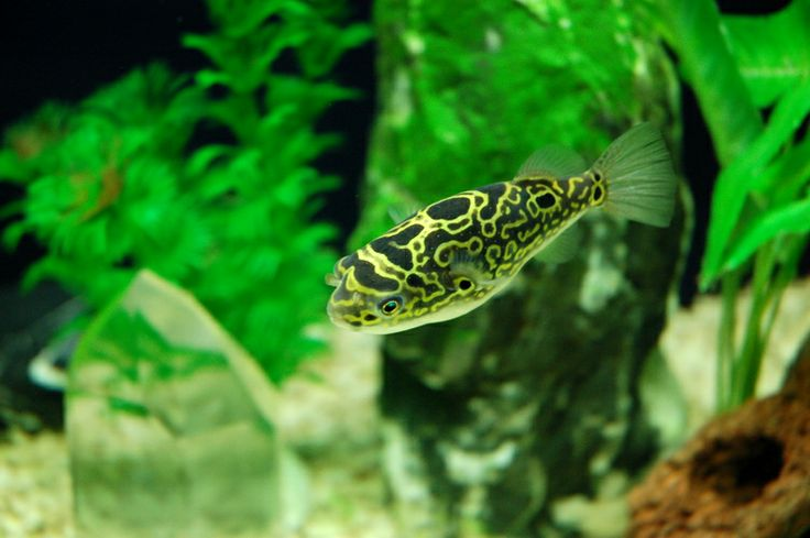Figure 8 puffer fish-brackish water fish. I have one of these