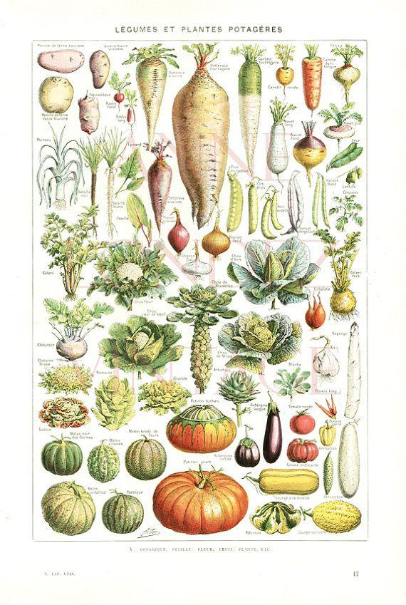 1948 Vintage French botanical print vegetable pumpkin ...