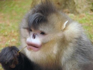 El mono sin nariz de myanmar celebrity