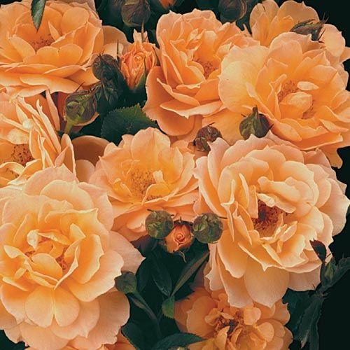 What a Peach™ Shrub Rose | Beautiful Gardens | Pinterest
