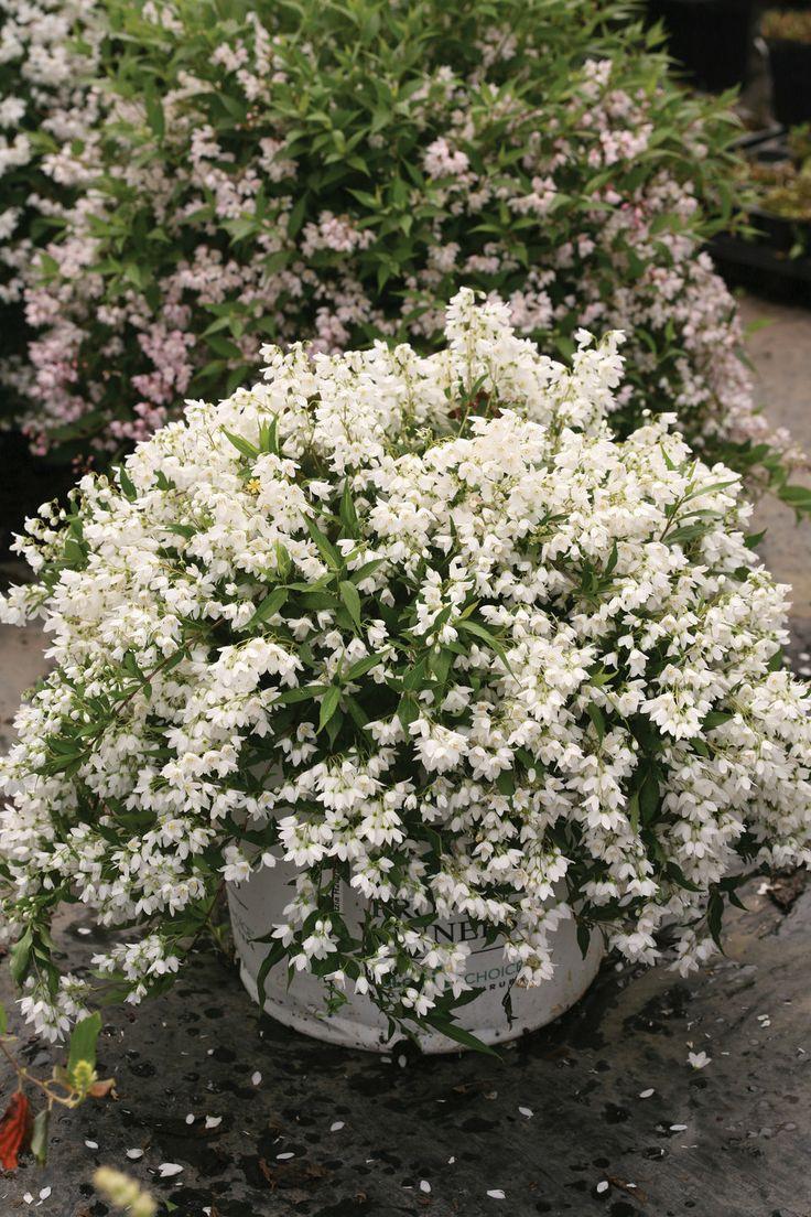 Yuki snowflake deutzia - Vegetable garden zone 5a ...