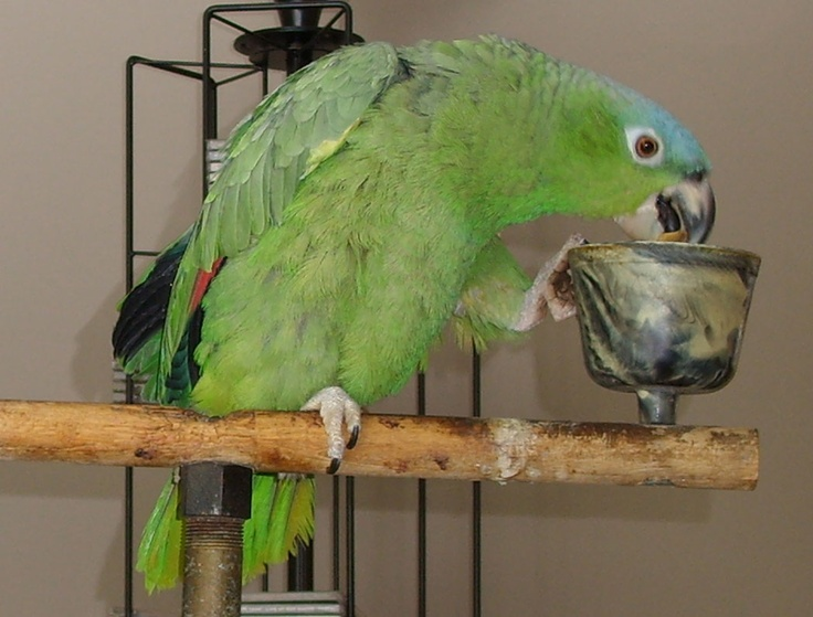 Blue Crowned Mealy Amazon - Pete!