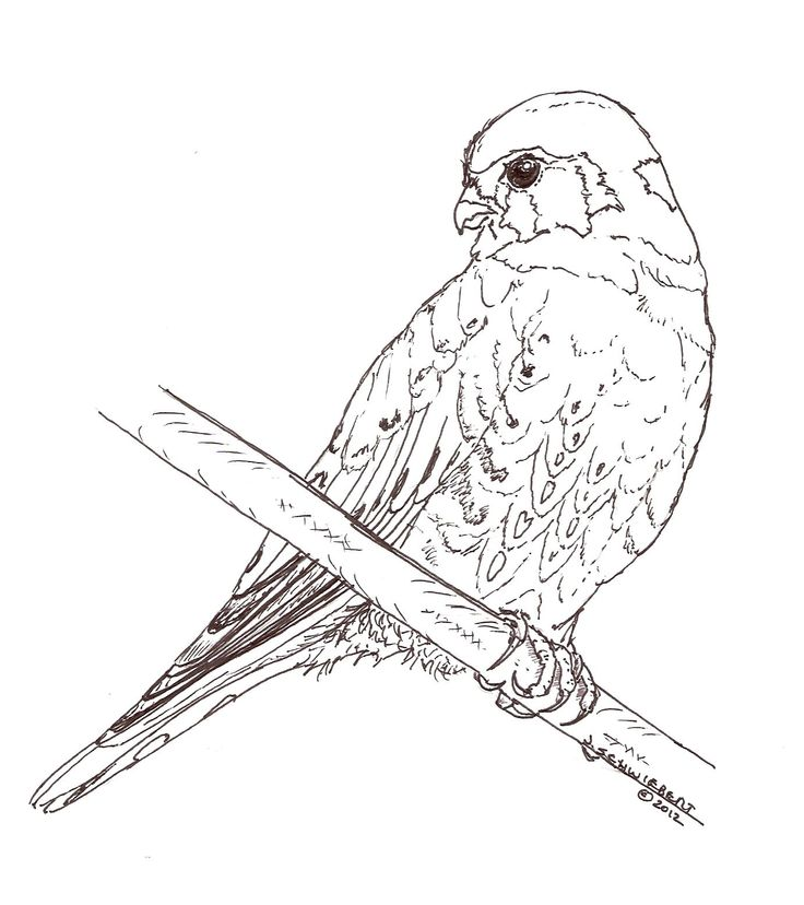 American Kestrel Coloring Page Coloring Pages Pinterest