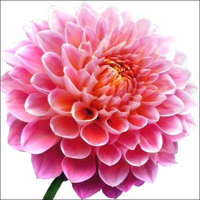 big pink flower farbe rosa dunkel pinterest. Black Bedroom Furniture Sets. Home Design Ideas