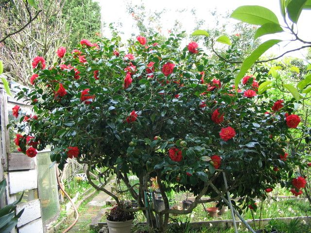 caring for camellias in pots k k club 2017