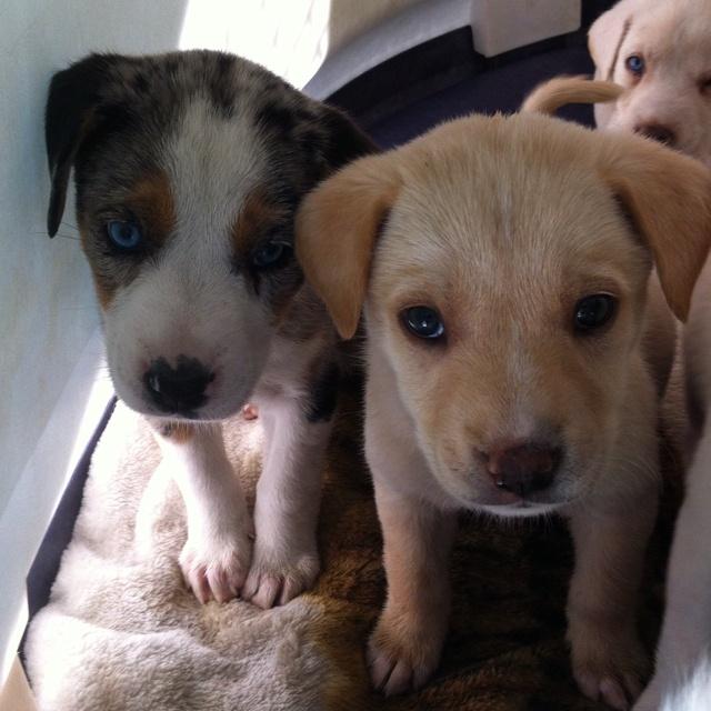 Lab/Aussie mix puppies! | look at dat wittle guy | Pinterest