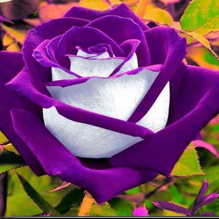 amazing two colored rose bright beautiful roses pinterest