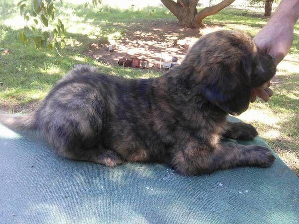 Www Craigslist Com Dogs For Sale Corpus Christi Tx