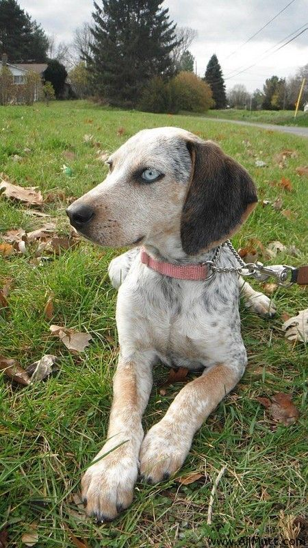 ... the Bluetick Coonhound Treeing Walker Coonhound Mix | Mix Breed