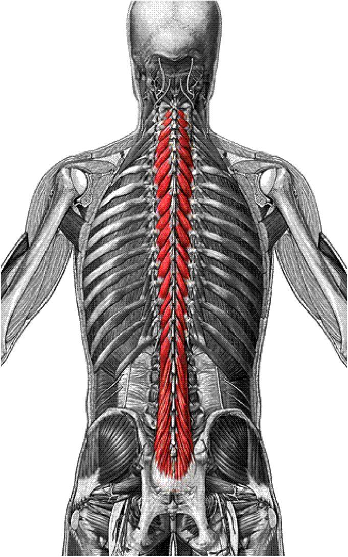 Multifidus muscle anatomy
