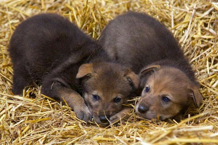 baby pygmy animals