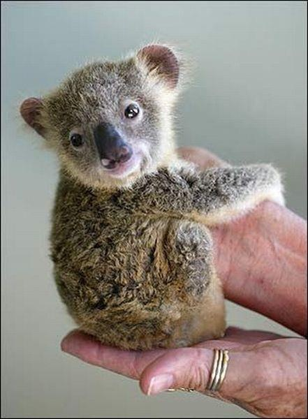 Cute baby Koala | Caution! Extremely cute animals! | Pinterest