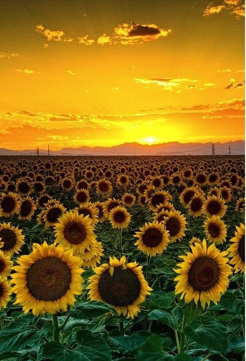 Sunset Sunflowers Simply Amazing Pinterest
