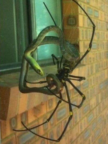 araña atrapa serpiente