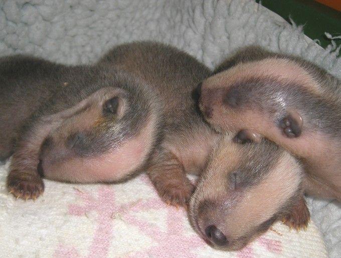 Baby badgers | Les Enfants | Pinterest - 60.6KB