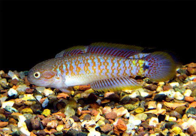 Peacock Gudgeon. Attractive colorful fish. A bit aggressive at times ...