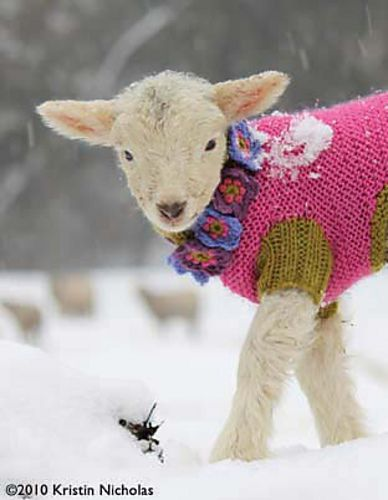 Pink sweater on a lamb...seriously adorable