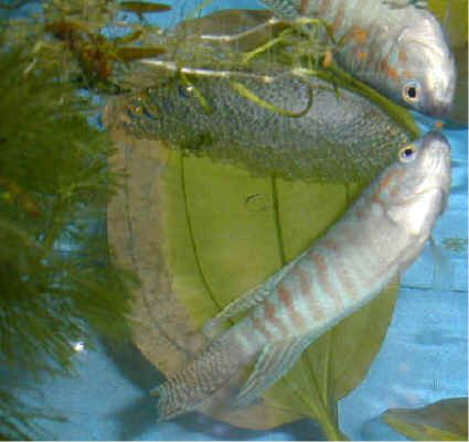 Pin by florida pond management on paradise fish from for Fish pond management