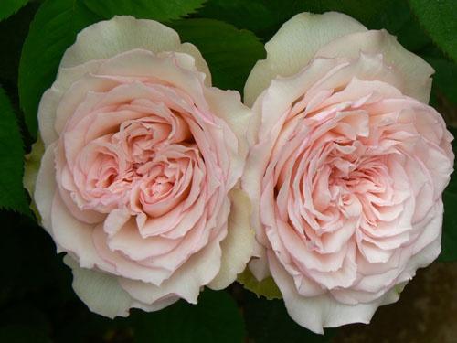 Carmeline Is A Light Pink Garden Rose Roses Roses Roses