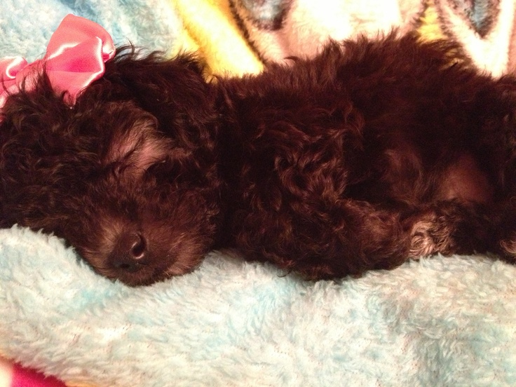 This is my toy poodle, Alice :) | Craft Ideas | Pinterest