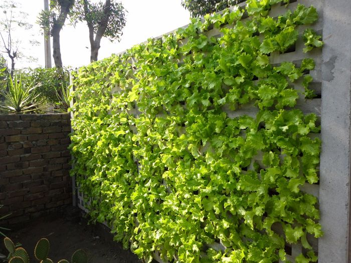 Lettuce wall vertical gardening grow food in any small for Grow vertical garden