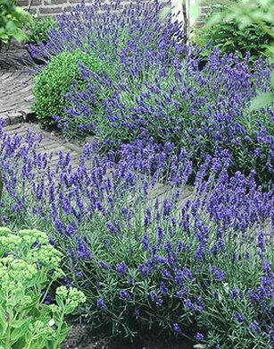 lavender hidcote blue flowers native wild pinterest. Black Bedroom Furniture Sets. Home Design Ideas