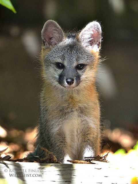 Baby gray foxes - photo#12
