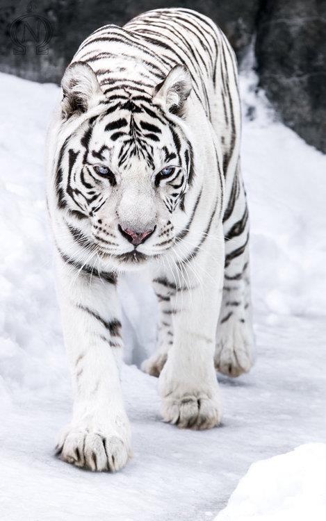 tiger wild snow - photo #27