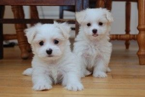 ... Tea-cup Maltese Puppies For Adoption in a Good Home Now .Wilmington