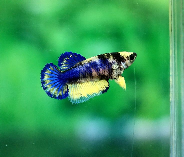 Fancy female betta fishes pinterest for Pictures of female betta fish