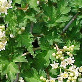 Stephanandra incisa 'Crispa' ....white flower