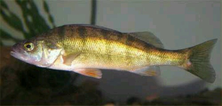 Yellow perch fish pinterest for Yellow perch fishing secrets