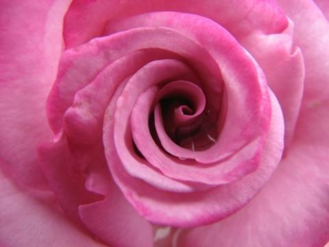 valentine rose petals uk