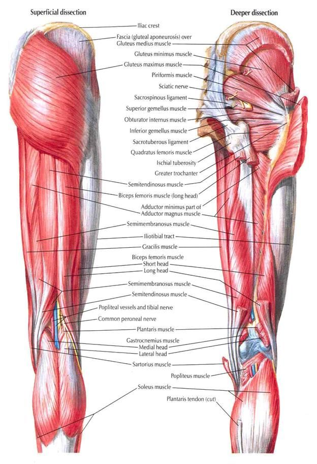Posterior thigh muscles anatomy