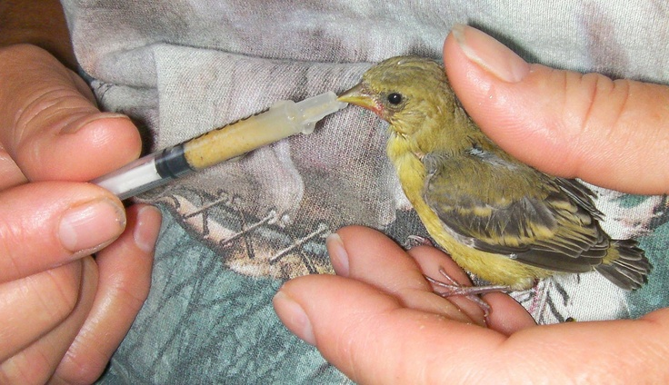 American goldfinch baby - photo#8