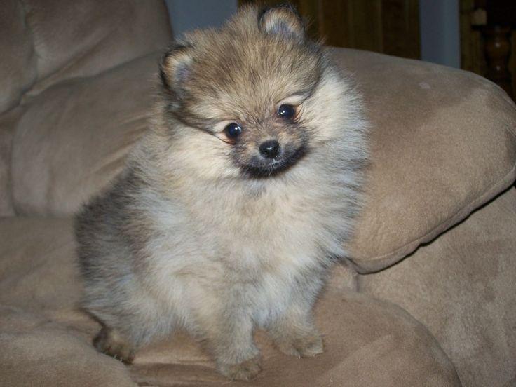 Cream Sable Pomeranian ~   For The Love of Pomeranians   Pinterest