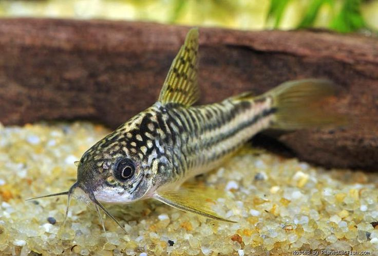 Corydoras sp c123 catfish and loaches pinterest for Cory cat fish